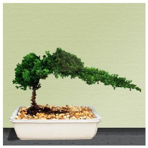 Bonsai Juniper Tree by 9GreenBox