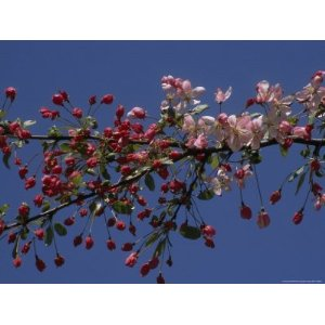 Flowering Crabapple Tree Branch Against a Clear Blue Sky