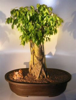 Ficus Banyan Bonsai Tree
