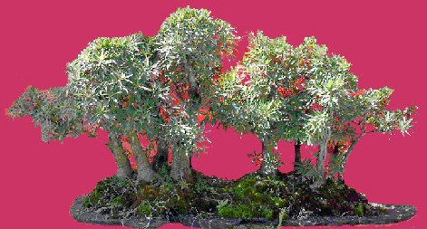 Willow Leaf Ficus Bonsai Tree - Forest
